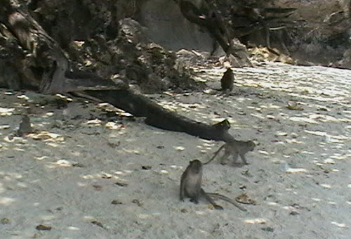 Maqaque monkeys on Monkey beach Koh Phi Phi
