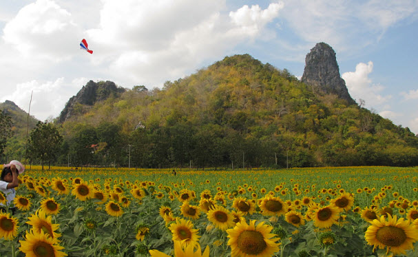 Sunflower fields Lopburi Thailand