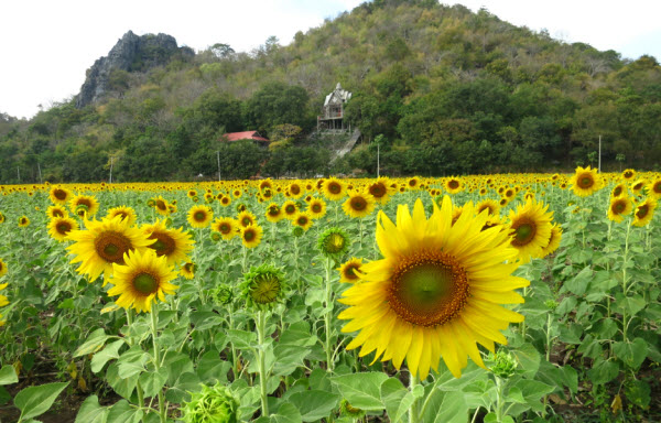 Sunflower fields in Lopburi