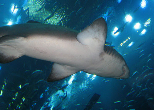Shark in the underwater tunnel at the dubai aquarium